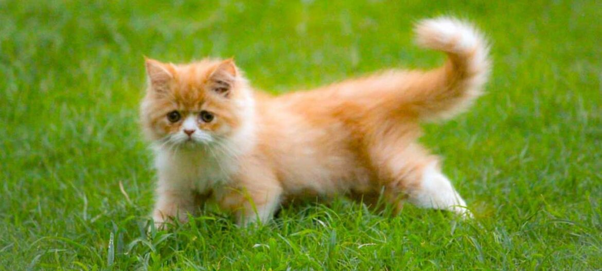8 Amazing Fun Facts about Persian Cats