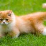 persian cat for sale in noida