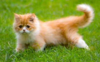 persian cat for sale in noida